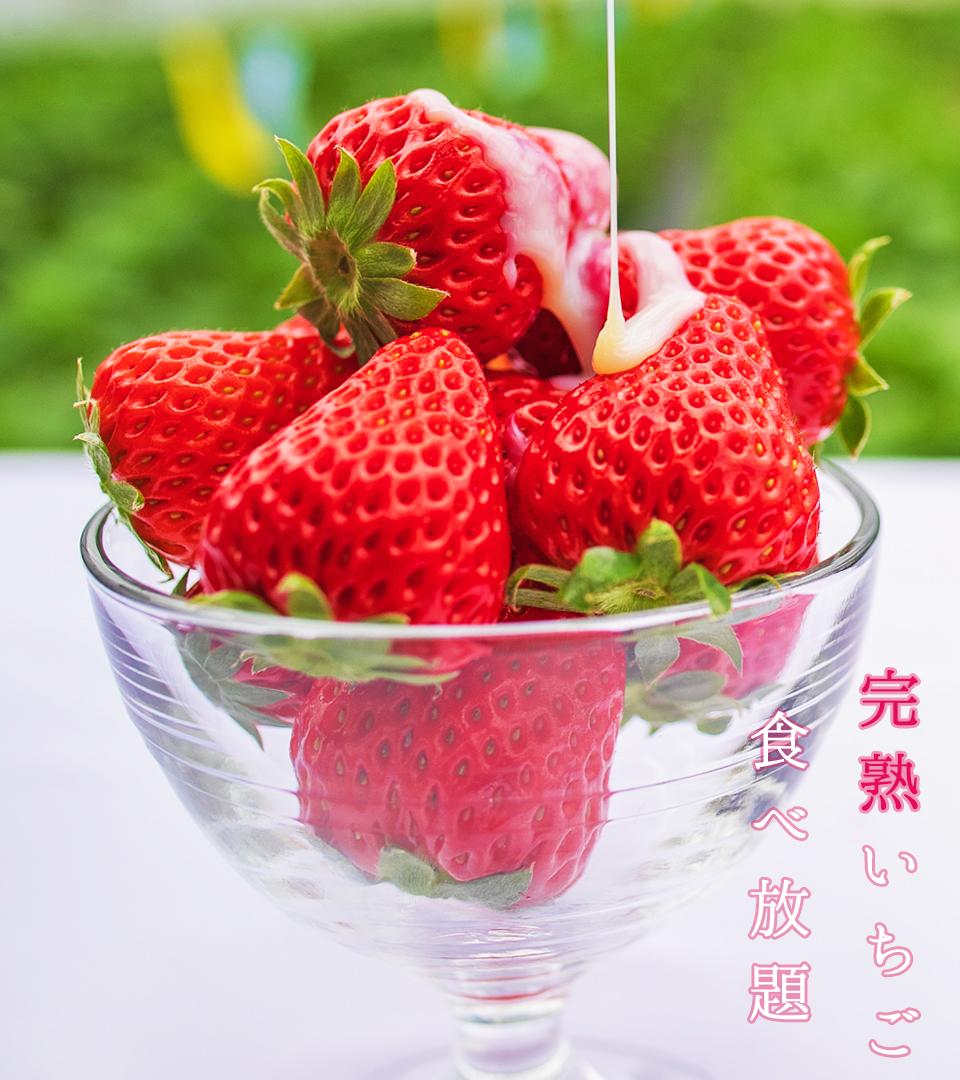 伊豆下田なごみ果園いちご狩り完熟イチゴ食べ放題